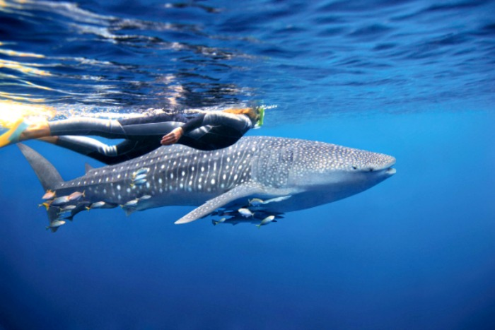 Swimming with a Whaleshark